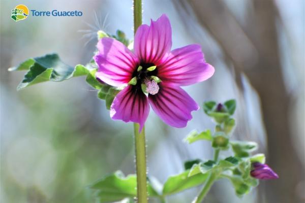 lavatera-arborea360226E4-5839-497F-9437-C9FE7D502162.jpg