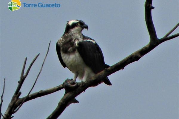 falco-pescatoreA26AFC42-27ED-A332-9787-2A9681EFE20C.jpg