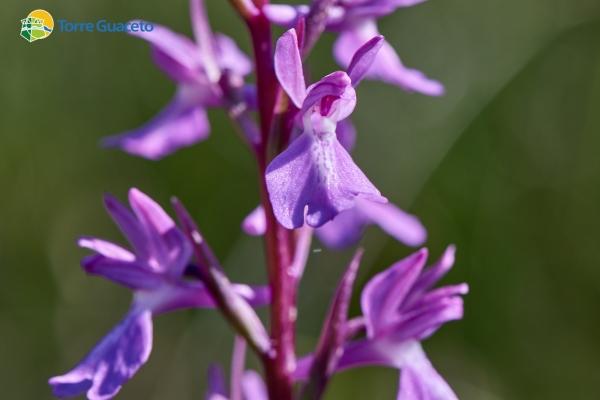 orchis-palustris6A8F6ED2-C042-7CC4-6441-39A7C7929CF4.jpg
